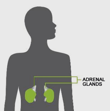 adrenal_glands_diagram